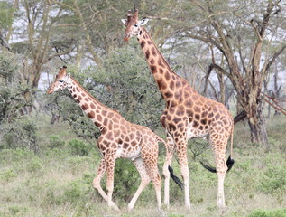 Giraffes walking in front of the trees