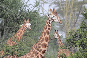 Group of giraffes between the trees