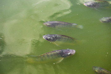 Tilapia fish in the pond