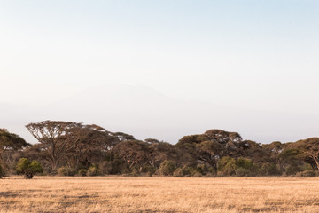 A forest in the savannah of Amboseli. Kenya, Africa