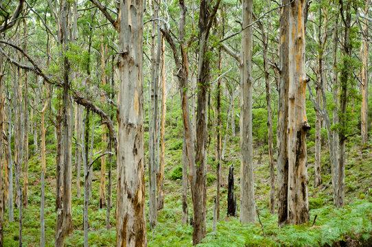 Boranup Forest - Margaret River - Australia