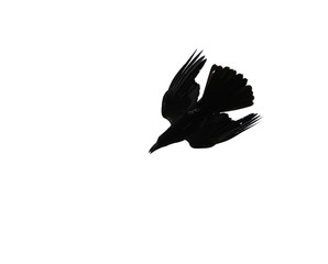 Silhouette of crow isolated on white background