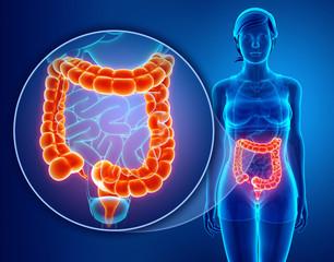 3d Render of Human Large Intestine