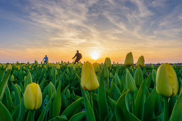 Tourist in bicycle riding along tulip fields in the Amsterdam, Netherlands