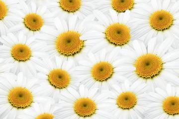 Daisy horizontal background texture