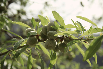 young green almond fruits growing on almond tree, Mallorca, Spain, Espana