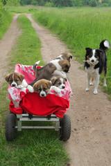 Ausfahrt ins Grüne: Welpen Border Collie und American Akita Mix im Bollerwagen mit Muttertier