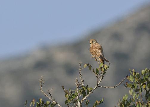 Lesser Kestrel (Falco naumanni), Greece
