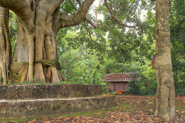 sacred tree and buddhist sanctuary in the forest in thailand.
