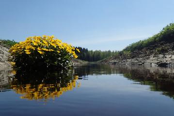 Caltha palustris and Vantaa river
