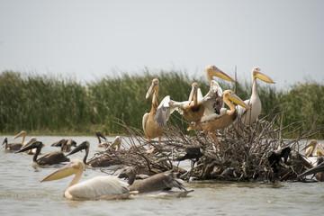 Pélican blanc, .Pelecanus onocrotalus, Great White Pelican, Sénégal