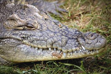 Close up on a head of Nile crocodile