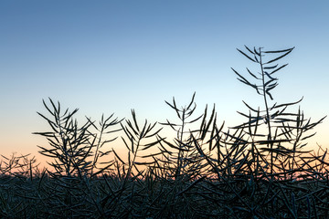 Rapeseed field before harvesting at sunrise