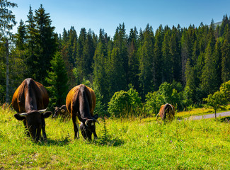 Fat cows grazing on a meadow among the spruce forest. lovely rural scenery of Carpathian mountains