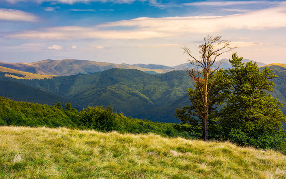 beech trees on a meadow of Svydovets ridge. beautiful scenery of Carpathian mountains in august