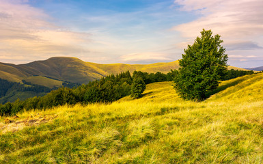 beech forests of Carpathian mountains in evening. hills of Svydovets mountain ridge in the distance. wonderful travel destination in Carpathian mountains Ukraine