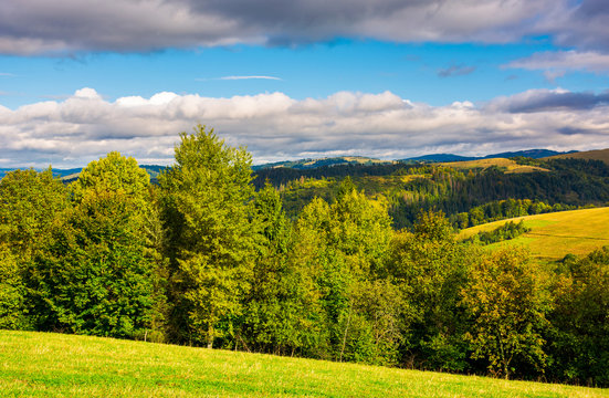 forest on a grassy hills of Carpathian mountains. lovely autumn landscape on a bright day under the cloudy sky