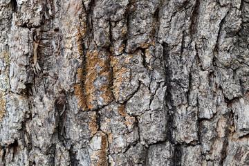 Bark of Pine Tree Close Up