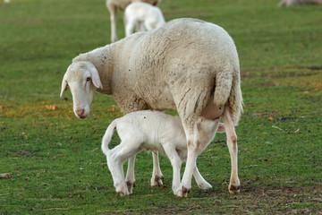 Beautiful lamb in the landscape