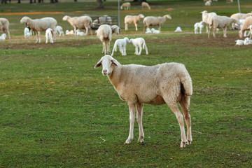 Beautiful lambs and sheeps