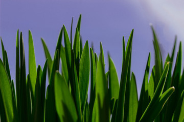 fresh spring green grass in the sunlight on the blue sky background, close-up