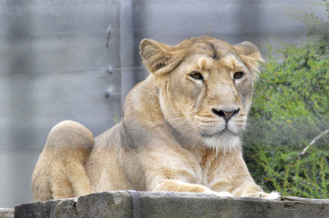 Lion behind bars chilling