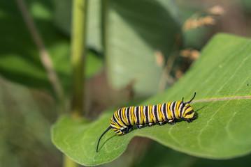 Monarch Caterpillar Close View