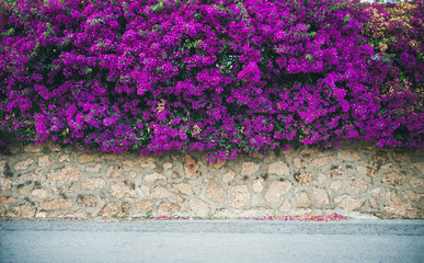 Stone wall covered with purple blooming Bougainvillea tree flowers. Typical Mediterranian outdoor street exterior in summer