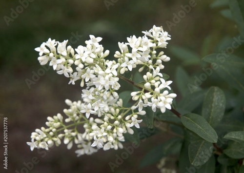Whitefragrant flowers of privet bush at spring stock photo and whitefragrant flowers of privet bush at spring mightylinksfo