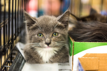 Closeup of adorable tiny russian blue grey and white kitten with green eyes in cage