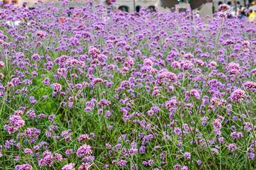 Many tiny purple flower clusters in field called Verbena Bonariensis