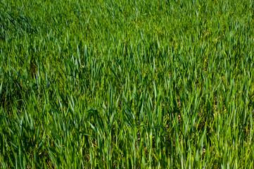 Green field full of wheat macro view