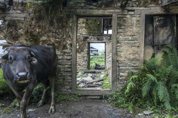 Yak vor Haus mit Fenster