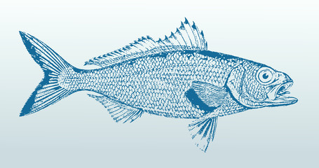 Australian herring (arripis georgianus), a fish from australia in profile view. Illustration after a vintage lithography from the 19th century. Easy editable in layers