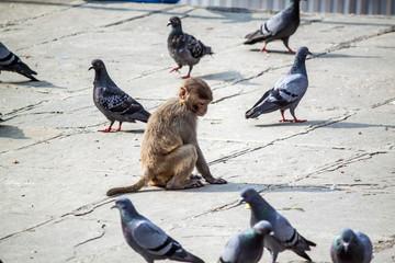 Affe und Tauben - Hinduismus Pashupatinath