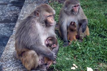 Affen mit Kinder - Hinduismus Pashupatinath