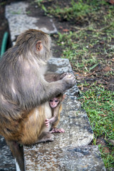 Affe mit Kind - Hinduismus Pashupatinath