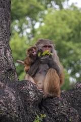 Affe isst Blatt mit Kind - Hinduismus Pashupatinath