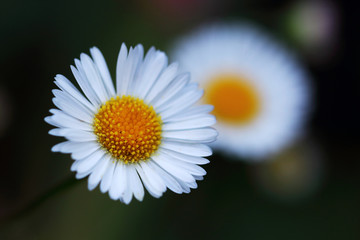 The Erigeron karvinskianus is a perennial plant that is a real summer bloomer