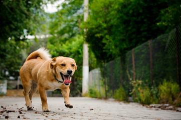 Domestic ginger color dog on the asphalt walkpath