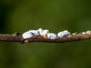 group of cottony hydrangea scale insects