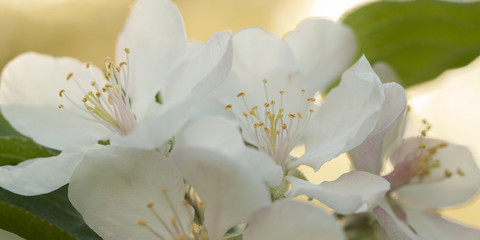 branch of a pear with beautiful white flowers