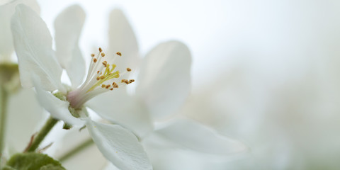 tender white flowers of an apple-tree blooming in the garden