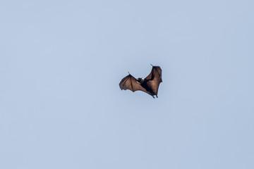 Megabats Sri Lanka - Flying Fox