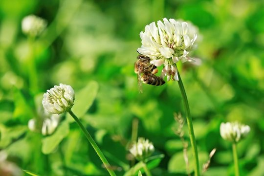 Busy bee sitting on white flower of clover collecting pollen on a bright sunny day, blurry green background, meadow, garden