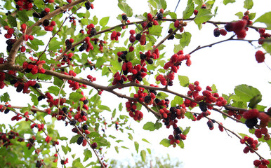 The ripe mulberry is on the fruit tree