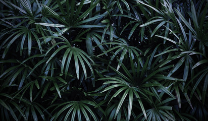 Rhapis excelsa or Lady palm in the garden tropical leaves background