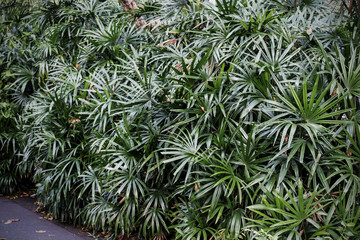 Rhapis excelsa or Lady palm in the garden Tropical leaves