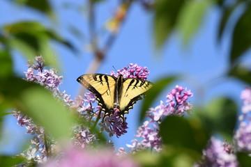 Yellow Swallowtail Butterfly on Purple Lilacs