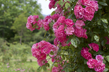 Pink color rose bloomed in garden